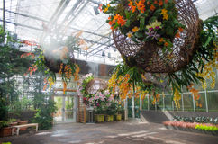 Blooming orchids in a greenhouse Stock Photography