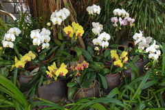 Blooming orchids in pots Royalty Free Stock Images