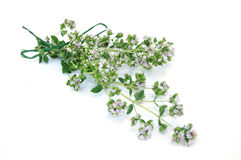 Blooming Oregano Stock Photos