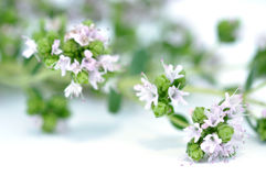 Blooming Oregano. Isolated on white Royalty Free Stock Photography