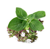 Blooming oregano Royalty Free Stock Photo