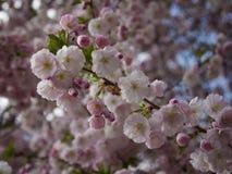 Blooming  of  oriental cherry ( Prinus serrulata or sakura). In early spring Stock Photo