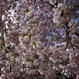 Blooming  of  oriental cherry ( Prinus serrulata or sakura). In early spring Royalty Free Stock Photography