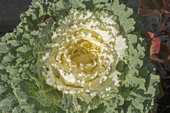 Blooming ornamental cabbage Stock Photography
