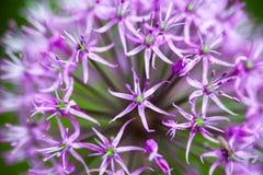 Blooming ornamental onion (Allium) Stock Images