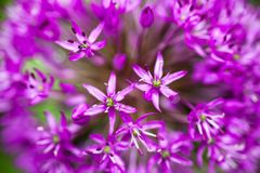 Blooming ornamental onion (Allium) Stock Photography