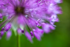 Blooming ornamental onion (Allium) Stock Photo