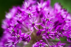 Blooming ornamental onion (Allium) Royalty Free Stock Photography