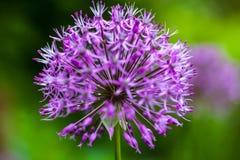Blooming ornamental onion (Allium) Royalty Free Stock Photo