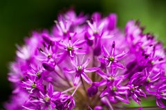 Blooming ornamental onion (Allium) Royalty Free Stock Images