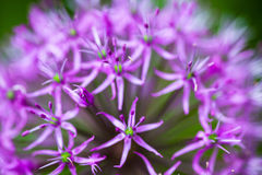 Blooming ornamental onion Allium. Close up of the blooming purple ornamental onion Allium Stock Photography