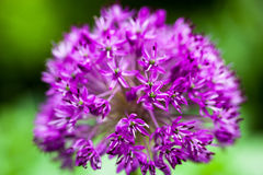 Blooming ornamental onion Allium. Close up of the blooming purple ornamental onion Allium Royalty Free Stock Photography
