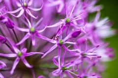Blooming ornamental onion Allium Stock Images