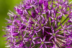 Blooming ornamental onion on green background. Close up macro image stock photo