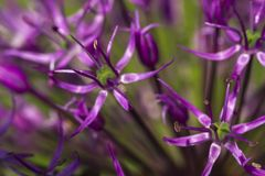 Blooming ornamental onion, macro image stock images