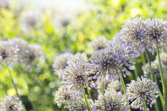 Blooming ornamental onions Royalty Free Stock Image