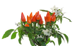 Blooming ornamental peppers Royalty Free Stock Photography