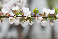 Blooming ornamental plant. Mountain cherry branch with blooming white flowers. Nanking cherry, Prunus tomentosa Royalty Free Stock Photography