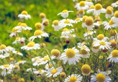 Blooming and overblown chamomile plants from very close. Closeup of white and yellow blooming and overblown chamomile or Matricaria chamomilla plants growing in Stock Image
