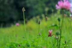 Blooming and overgrown clover in green field royalty free stock photo