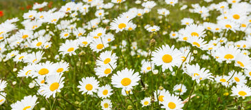 Blooming ox-eye daisies waving in the wind Royalty Free Stock Photo