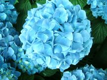 Blooming pale light blue hydrangea royalty free stock photo