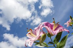 Pale pink oriental lily. Blooming pale pink oriental lily flower under sky with clouds Stock Images