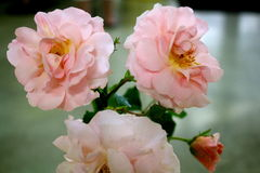 Blooming pale pink roses. Collection of delicate blooming pale pink roses Stock Images