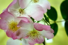 Blooming pale pink roses. Collection of delicate blooming pale pink roses Stock Image