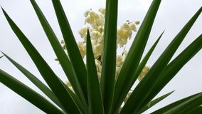 Blooming palm tree Stock Photography