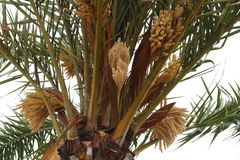 Blooming palm tree in french Le Grau-du-Roi Stock Images