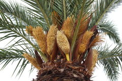 Blooming palm tree, Le Grau-du-Roi, France Royalty Free Stock Images
