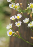 Blooming panicle aster Stock Photography