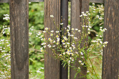 Blooming panicle aster at the fence Royalty Free Stock Photo