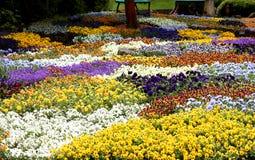 Blooming pansies pansy flower flowers Stock Image