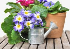 Blooming pansies in pot Stock Photo
