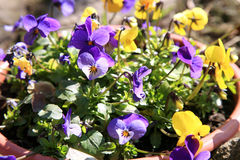 Blooming pansies Stock Images