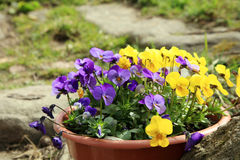 Blooming pansies Royalty Free Stock Images