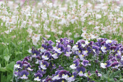 Blooming Pansy Flowers. Spring meadow Royalty Free Stock Photos