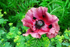 Blooming papaver in garden Stock Images