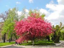 Blooming paradise apple tree. Royalty Free Stock Photos