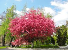 Blooming paradise apple tree. Stock Images