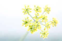 Blooming Parsley Macro Stock Images