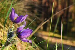 Blooming pasque. In the forest Stock Images