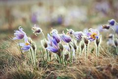 Blooming pasque wild flowers in spring Stock Image