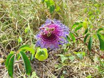 Blooming Passion Fruit Flower, seen in the wild in Chapada Diama Stock Photos