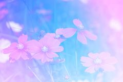 Pastel blooming cosmos stock photography