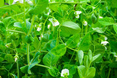 Blooming pea Stock Images