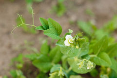 Blooming pea plant on a garden bed Stock Image