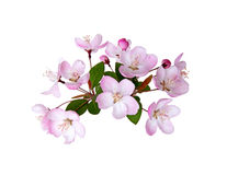 Blooming peach blossom in spring isolated on white Royalty Free Stock Image